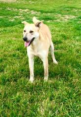 Labrador Retriever Mix Dog For Adoption in Clifton, TX, USA