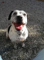 Dalmatian Mix Dog For Adoption in San Diego, CA, USA