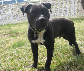American Pit Bull Terrier Mix Dog For Adoption in Encino, CA, USA
