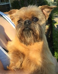 Brussels Griffon Dog For Adoption in Fresno, CA, USA