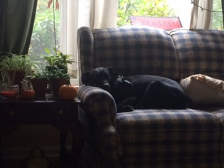 Labrador Retriever Mix Dog For Adoption in Warrington, PA