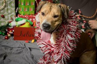 Small Carolina Dog-Labrador Retriever Mix