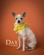 Chihuahua Mix Dog For Adoption in Dallas, TX