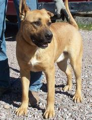 Great Dane Mix Dog For Adoption in Golden Valley, AZ, USA