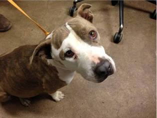 American Pit Bull Terrier Mix Dog For Adoption in Tucson, AZ