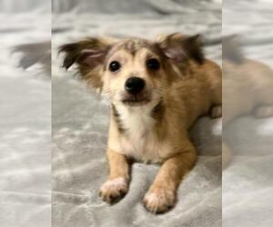 Dameranian Dogs for adoption in League City, TX, USA