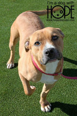 American Pit Bull Terrier-Labrador Retriever Mix Dog For Adoption in Alton, IL, USA