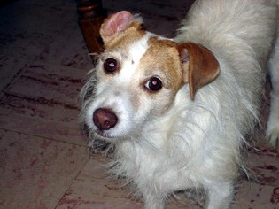 Jack Russell Terrier Dog For Adoption in NORWICH, NY