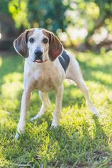 English Foxhound Dog For Adoption in Miami, FL