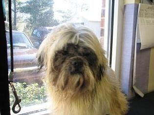 Shih Tzu Dog For Adoption in Rock Hill, SC, USA