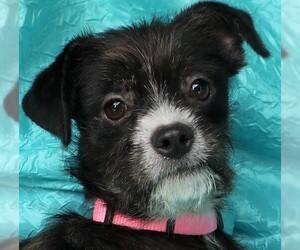 Small Boston Terrier Mix