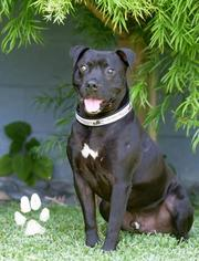 Labrador Retriever Mix Dog For Adoption in San Diego, CA, USA