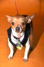 Chihuahua Dog For Adoption in Frisco, TX