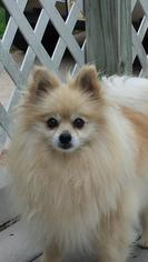 Pomeranian Dog For Adoption in Broken Bow, NE, USA