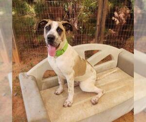 Saint Bernard Dogs for adoption in Hamilton, GA, USA