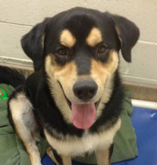 View Ad Great Pyrenees Rottweiler Mix Dog For Adoption