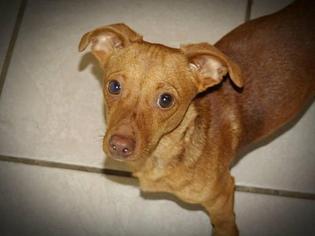 Dachshund Dog For Adoption in Cochran, GA