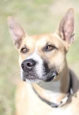Boxer Mix Dog For Adoption in Fresno, CA, USA