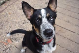 View Ad: Siberian Husky Mix Dog for Adoption near New Jersey