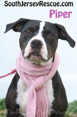 Boxer-Pointer Mix Dog For Adoption in Gibbstown, NJ, USA