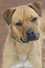 Boxer Dog For Adoption in Kanab, UT, USA