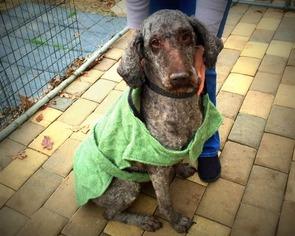 Poodle (Standard) Dog For Adoption in Pacolet, SC