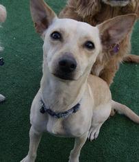 Chihuahua Mix Dog For Adoption in Rancho Santa Margarita, CA, USA
