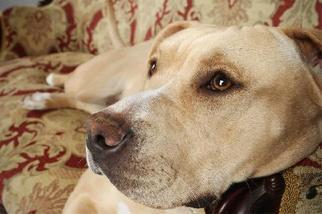 American Bulldog Mix Dog For Adoption in Nashville, TN, USA