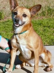 Chiweenie Dog For Adoption in Rock Hill, SC, USA
