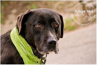 Labrador Retriever Mix Dog For Adoption in Lago Vista, TX, USA