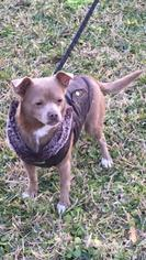 Chihuahua Mix Dog For Adoption in Lake Jackson, TX, USA
