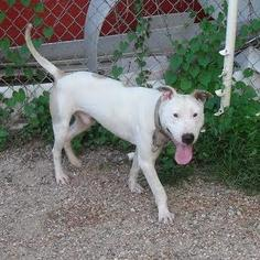 American Pit Bull Terrier Mix Dog For Adoption in Austin, TX