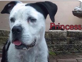 American Bulldog Mix Dog For Adoption in west Palm Beach, FL, USA