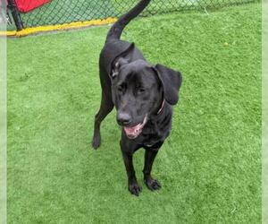 Labrador Retriever-Unknown Mix Dogs for adoption in Charlotte, NC, USA