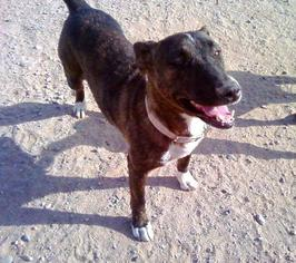 Labrador Retriever Mix Dog For Adoption in Tonopah, AZ, USA