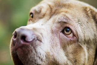 Neapolitan Mastiff Dog For Adoption in Perry, NY, USA