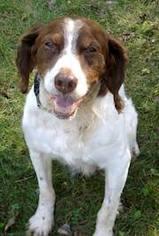 English Springer Spaniel Dog For Adoption in Shakopee, MN