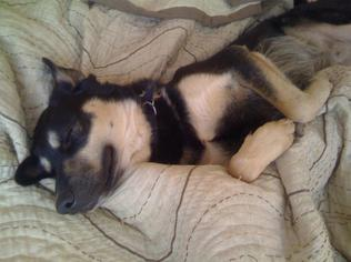 Gerberian Shepsky  Mix Dog For Adoption in Brooklyn, NY, USA