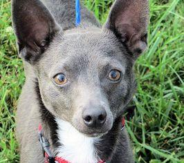 Rat-Cha Dog For Adoption in Columbia, TN, USA