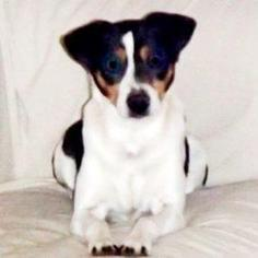 Rat Terrier Dog For Adoption in Show Low, AZ
