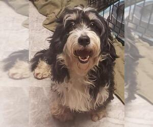 Miniature Bernedoodle Dogs for adoption in Smithfield, PA, USA