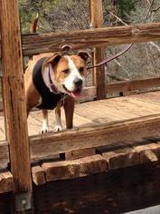 Bullboxer Pit Dog For Adoption in Fresno, CA, USA