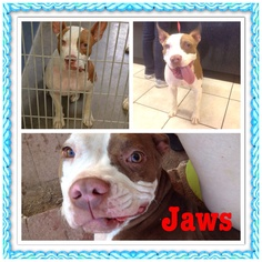 American Pit Bull Terrier-Unknown Mix Dog For Adoption in Phoenix, AZ, USA