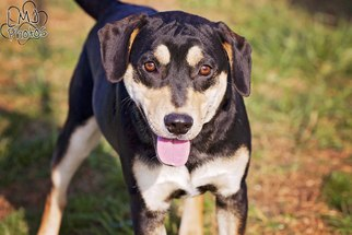 Rottweiler Mix Dog For Adoption in Pryor, OK, USA