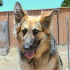 German Shepherd Dog Dog For Adoption in San Diego, CA, USA