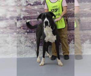 Great Dane Dogs for adoption in Louisville, KY, USA