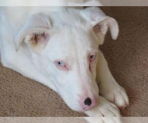 Boxer-German Shepherd Dog Mix Dogs for adoption in Effort, PA, USA