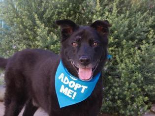 Labrador Retriever Mix Dog For Adoption in Pacific Grove, CA