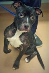 American Pit Bull Terrier Mix Dog For Adoption in Los Banos, CA