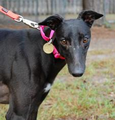 Greyhound Dog For Adoption in Cherry Hill, NJ, USA